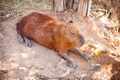 A Capybara sleeping on bare ground. Royalty Free Stock Image