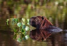 Capybara som avspeglar i sjön arkivbilder