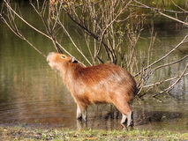 Capybara som gnider hans kropp med ett träd Fotografering för Bildbyråer