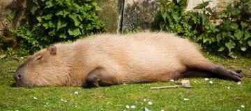 Capybara som kopplar av i solen Royaltyfri Foto