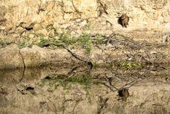 Capybara som reflekterar i floden royaltyfri foto