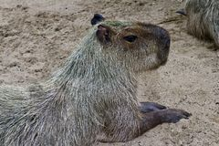 A capybara the world`s largest rodent in a safari park royalty free stock photo