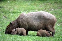 Capybara with sucklings Royalty Free Stock Photos