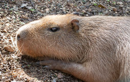 The capybara sunbathing Royalty Free Stock Photo