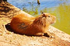 Capybara. Sunning at the pond Royalty Free Stock Image