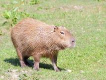 Capybara sur le pâturage Image libre de droits