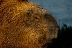 Capybara swimming in the water stock photo