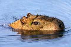 Capybara. Swimming through water with head above surface Stock Photos