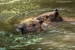 Capybara swims with another through the water stock images