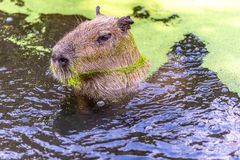 Capybara swims through the water. The largest rodent in the world, the Capybara stands about two feet tall and is a heavy, barrel-shaped animal with a short stock image