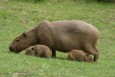 Capybara with two cubs Royalty Free Stock Photos