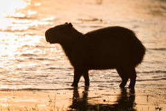 Capybara walking in shallows in golden light Stock Image