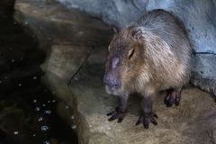 Capybara watching into water. Standing in it Royalty Free Stock Image