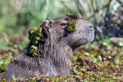 Capybara in the water. Capybara with aquatic vegetation in a pond Stock Images