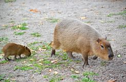 Capybara water pig Hydrochoerus hydrochaeris Linnaeus with a cub.  Royalty Free Stock Images