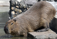 Capybara 9 Royalty Free Stock Image