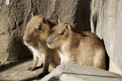 The capybara which relaxes Royalty Free Stock Image