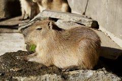 The capybara which relaxes Royalty Free Stock Photos