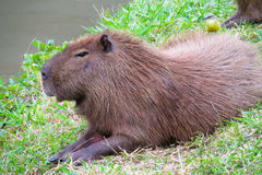 Capybara wild rodent Royalty Free Stock Photo
