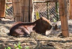 Capybara Stock Photo