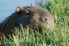 Capybara swimming in the water Royalty Free Stock Photos