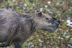 Capybara (Hydrochaeris hydrochaeris) with mud in the face Royalty Free Stock Photo