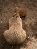 Capybara y bebé Imagen de archivo libre de regalías