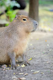 Capybara Stock Photos
