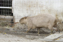 Capybara in zoo Stock Images