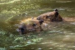 Capybara zwemt met een andere door het water stock afbeeldingen