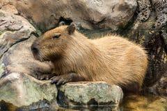 Capybaraen, capibaraen, ronsocoen, chigüiren eller hydrochaerisna för Hydrochoerus för chigüiro är ett djur av familjen av cavi arkivbilder