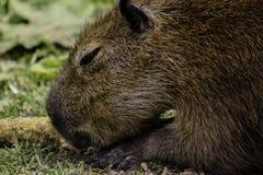 Capybaraen har en havremajskolv för lunch Royaltyfria Foton
