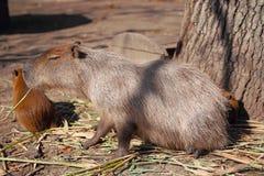 Capybarafamilie Lizenzfreie Stockfotografie
