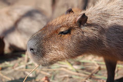 Capybarafamilie Stockbild