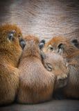 Capybarafamilie Royalty-vrije Stock Foto