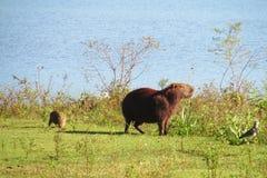 Capybaramutter und -baby nahe dem See auf der Wiese des grünen Grases Lizenzfreie Stockfotografie