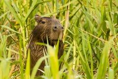 Capybaranederlag i det högväxta gräset Arkivfoton
