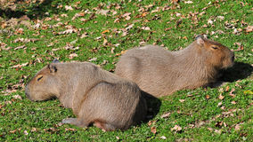 Capybaras Royalty Free Stock Photography