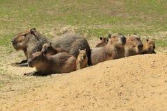 Capybaras Royalty Free Stock Photo
