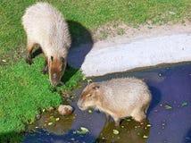 Capybaras Arkivfoton