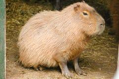Capybaras Photographie stock libre de droits