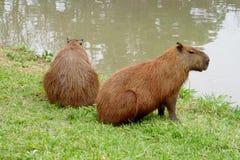 Capybaras Imagens de Stock