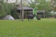 Capybaras at a camping in Carlos Pellegrini, Argentina Stock Image
