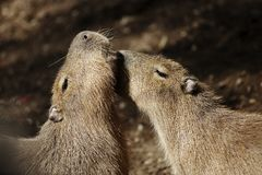 Capybaras courting Royalty Free Stock Photography
