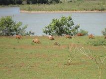 Capybaras dehors Photo libre de droits