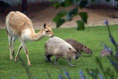 Capybaras e passeggiata dell'alpaga su erba verde Fotografia Stock Libera da Diritti