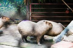 Capybaras eating food in zoo stock photo