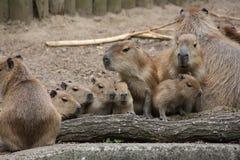 A capybaras family Royalty Free Stock Photos