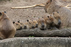 A capybaras family Royalty Free Stock Photos