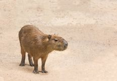 Capybaras  hydrochoerus hydrochaeris. Standing relaxation in nature Royalty Free Stock Photography
